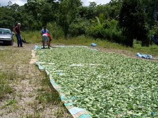 Coca Leaves Being Dryed